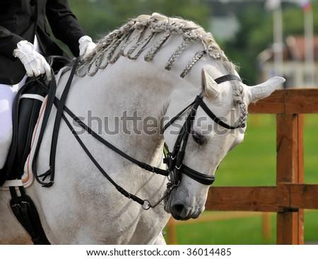 dressage pura raza espanola andalusian horse - stock photo
