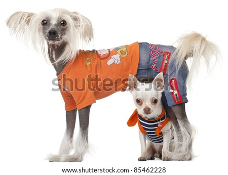 Dressed Chihuahua and Chinese Crested dog in front of white background - stock photo