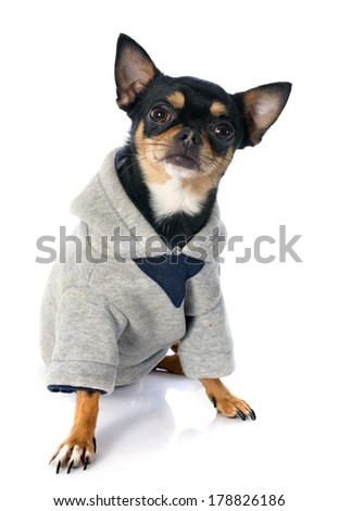 dressed chihuahua in front of white background - stock photo