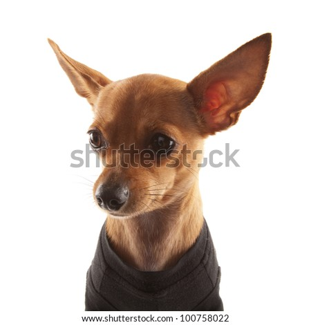Dressed Chihuahua isolated on white