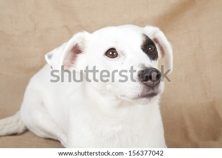 Dressed jack russell - stock photo