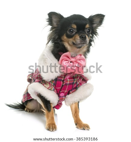 dressed longhair chihuahua in front of white background - stock photo