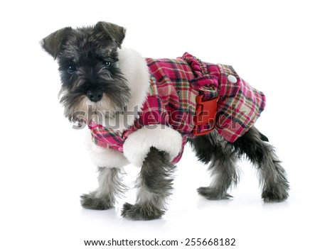 dressed puppy Miniature Schnauzer in front of white background - stock photo