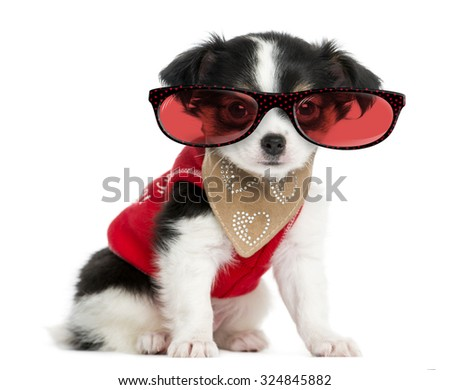 Dressed-up Chihuahua puppy sitting and wearing glasses, 3 months old, isolated on white