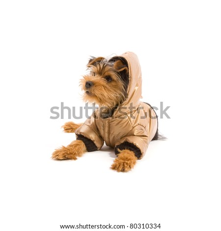 Dressed up Yorkshire Terrier isolated on white - stock photo