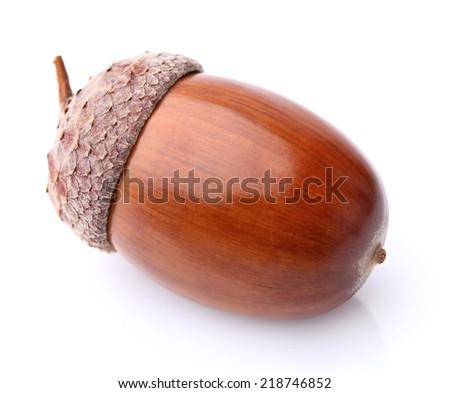 Dried acorn in closeup - stock photo