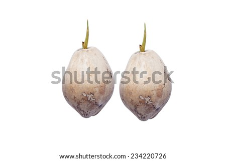 Dried coconut that has sprouted on a white background - stock photo