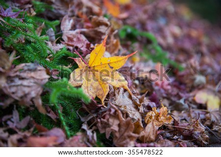 Dried colorful maple leaves on ground in garden - stock photo