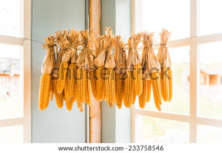 Dried corn cobs decorations isolated on white background - stock photo