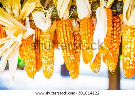 Dried corn hanging, Thailand. - stock photo