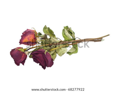 Dried faded roses on pure white background - stock photo