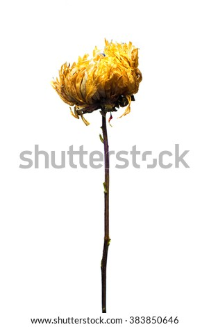 Dried flower isolated over white. Close up view. - stock photo