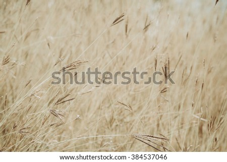 Dried grass field closeup
