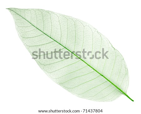dried green leaf isolated on white - stock photo