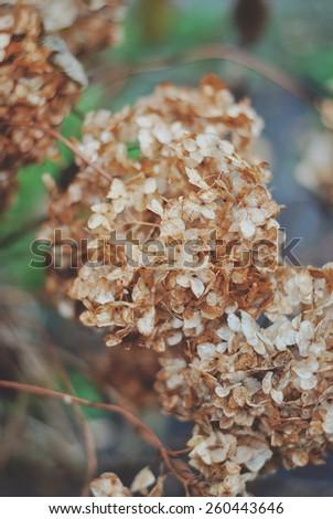 dried hydrangea - stock photo