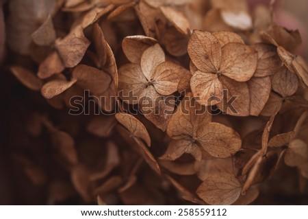 Dried hydrangea flower head texture background outdoor - stock photo