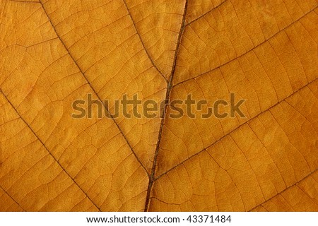dried  leaf texture of walnut as background