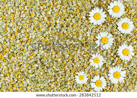 Dried organic natural chamomile blooming flowers texture background with fresh camomile flowers - stock photo