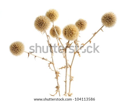 Dried prickly plant isolated on the white - stock photo