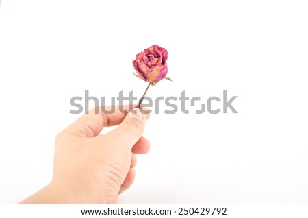 dried red rose in hand isolated on a white background