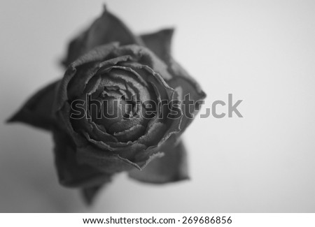 Dried rose black and white monochrome - stock photo