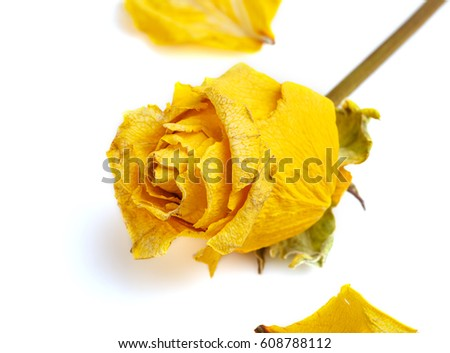 dried rose flower head isolated on white background cutout. Rose petals. Dry yellow roses. Herbarium.