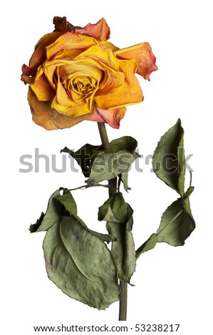 Dried rose flower with leafs isolated over white background - stock photo