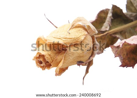 Dried rose on white background         - stock photo