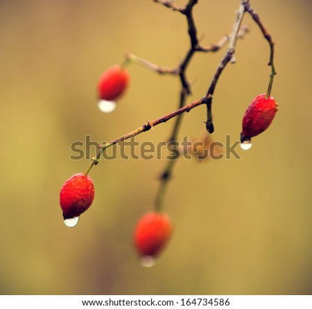 dried rosehips wet in the rain with drops of water. vintage effect - stock photo
