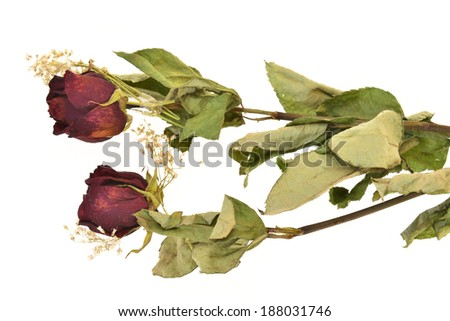 Dried Stalks Of Rose Flowers  - stock photo