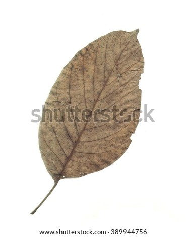 Dried walnut leaf isolated on white.