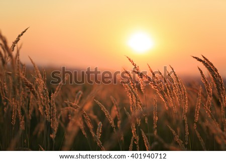 Dried weeds in Backlight. Shallow depth of field. Summer Atmosphere. Heat Wave