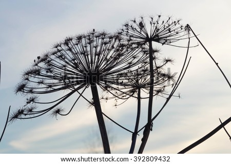 Dried wild hogweed inflorescence on the background of the winter sky - stock photo