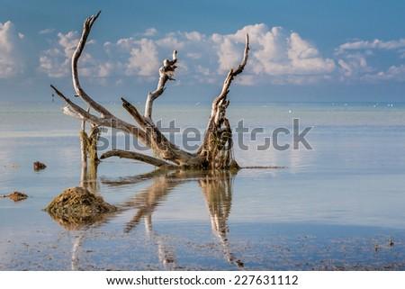 Driftwood tree on calm ocean in Florida Keys - stock photo