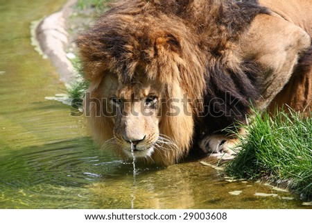 drinker lion - stock photo