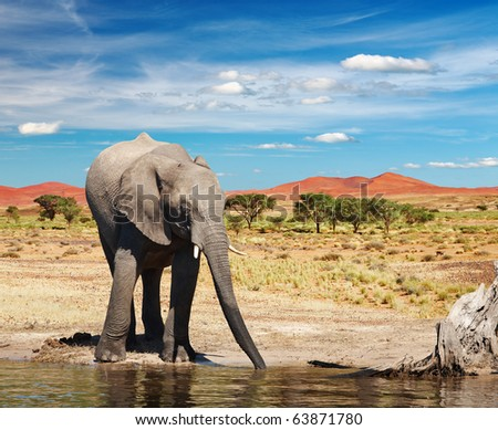 Drinking elephant in african savanna - stock photo