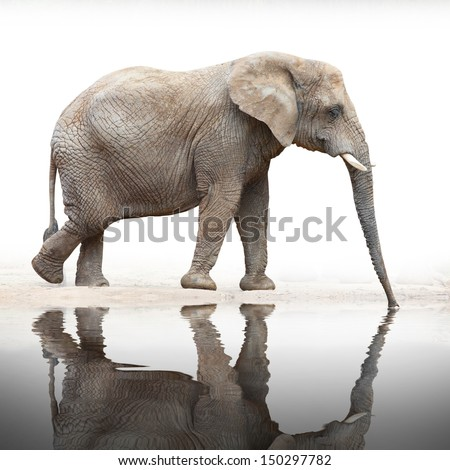 Drinking Elephant (Loxodonta africana). - stock photo