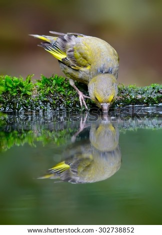 Drinking Greenfinch (Chloris chloris)