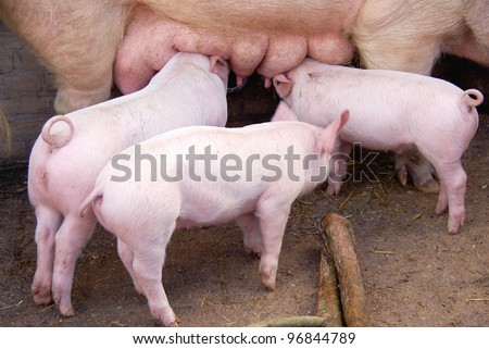 Drinking piglets and a pig in a stable - stock photo