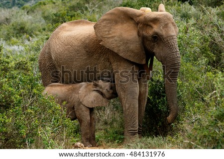 Drinking Time - The African bush elephant is the larger of the two species of African elephant. Both it and the African forest elephant have in the past been classified as a single species.