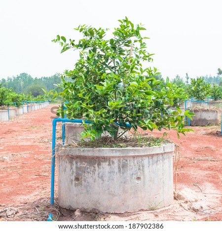 Drip irrigation system for growing lemons. - stock photo