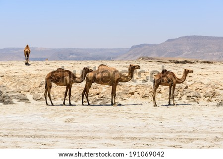 Dromedaries on the beach of Wadi Darbat, Taqah, Dhofar region (Oman)