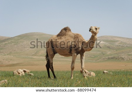 Dromedary Camel in the Desert.