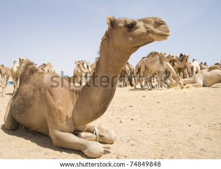 Dromedary camels at an Egyptian market - stock photo