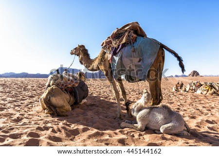 Dromedary camels in Wadi Rum desert, Jordan. The dromedary, also called the Arabian camel, is a large, even-toed ungulate with one hump on its back. It is one of the three species of camel existing.  - stock photo