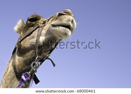 Dromedary's head: closeup of dromadery's head seen from below with blue sky around it