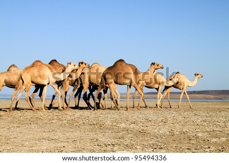 Dromedary, walking along a dried up lake, Djibouti Africa - stock photo