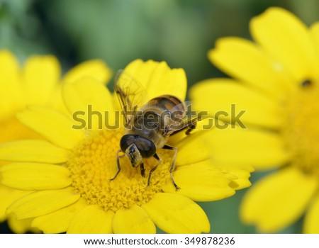 Drone-fly - Eristalis tenaxon Corn Marigold - Chrysanthemum segetum - stock photo