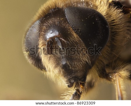 Dronefly, detailed portrait - stock photo