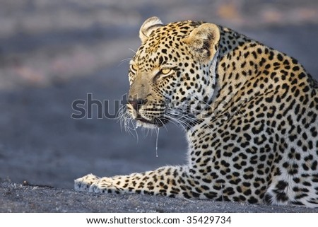 Drooling Leopard - stock photo